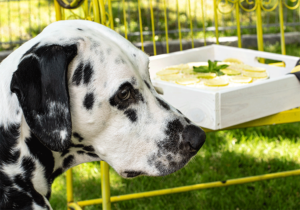 Dalmatiner mit Kuchen